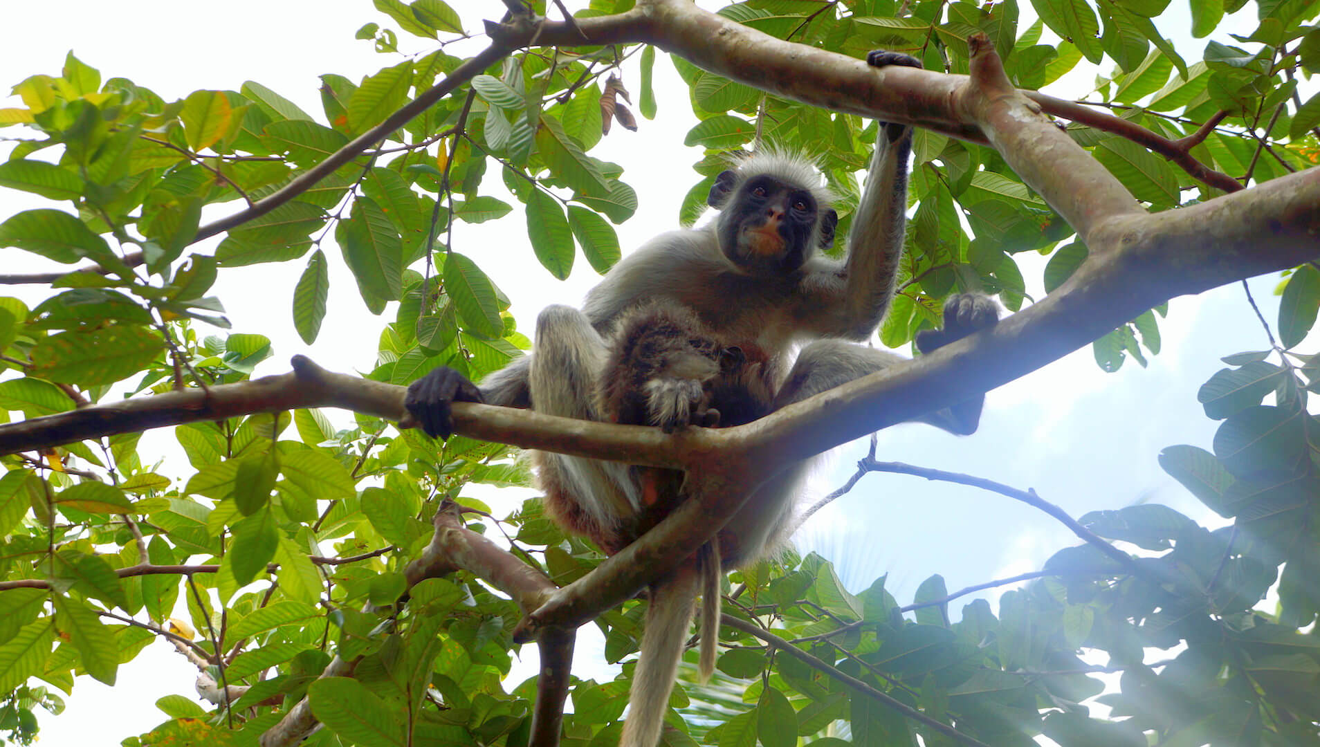 monkey zanzibar