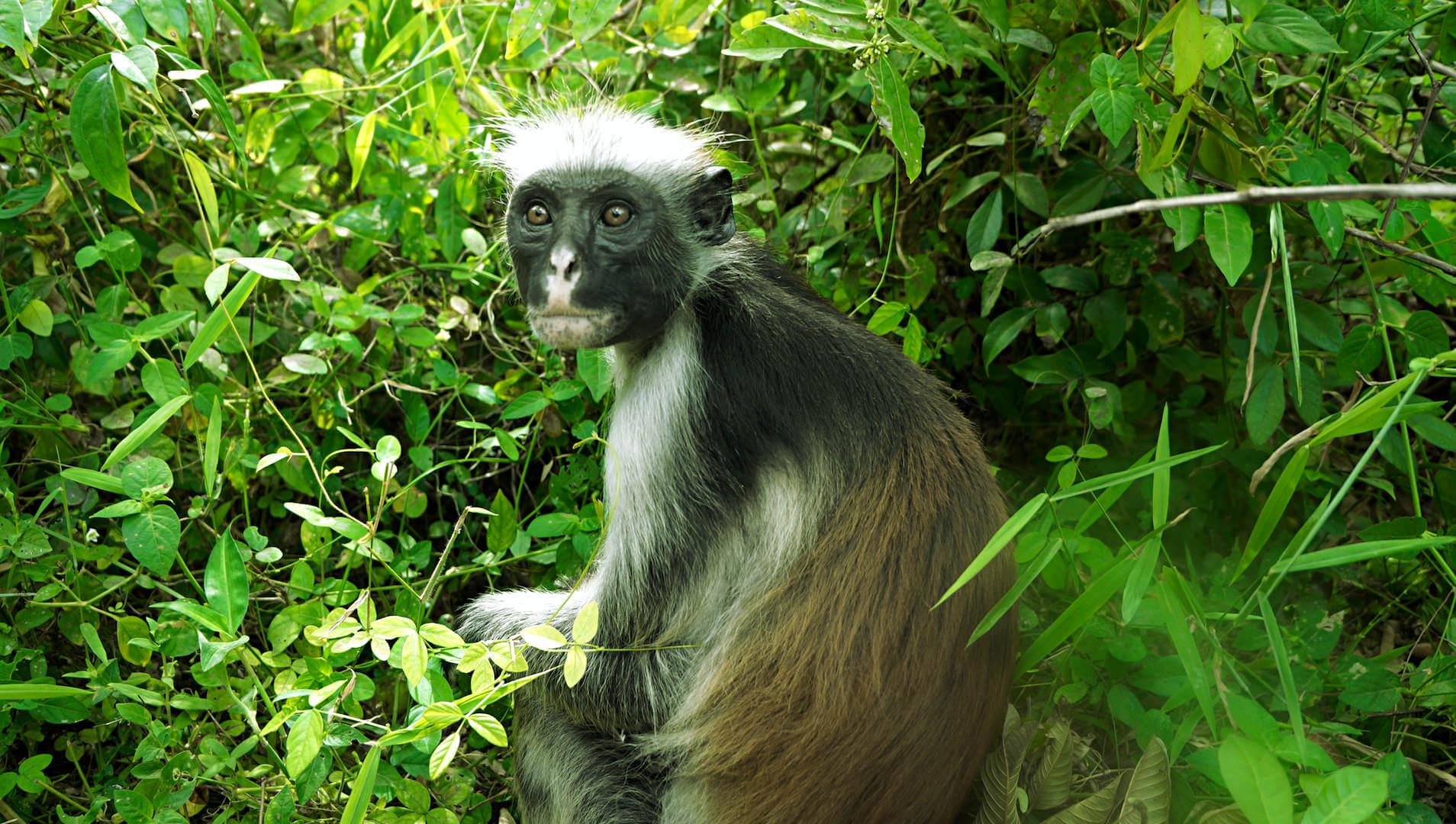 sansibar monkey